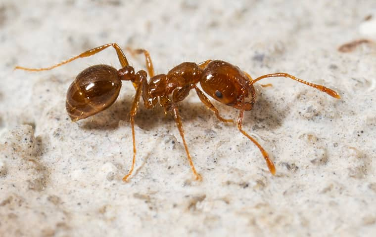A Guide To Preventing Fire Ants From Entering Your Home